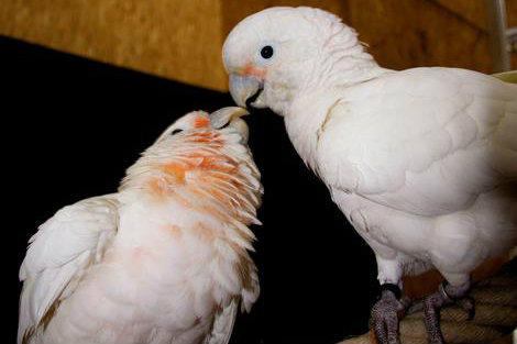 0705_cockatoo_full_600[1]