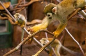 A squirrel monkey hunts a criptic insect while other monkeys watch. (Credit: Current Biology, Claidiere et al.)