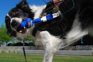 A service dog tugs on a pull-toy attached to a vest. The vest has a microprocessor on top that sends signals to a computer when the dog pulls the toy.  Adil Dellawalla